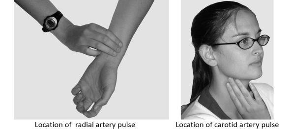 radial and carotid arteru